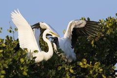 Бой большого Egret и деревянного аиста Стоковая Фотография RF