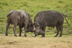 Бой буйвола Стоковые Фотографии RF