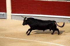 бой быка Стоковая Фотография