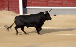 бой быка Стоковое Изображение RF