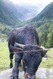 бой быка Стоковое фото RF