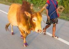 бой быка Стоковые Изображения