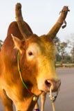 бой быка Стоковые Фото