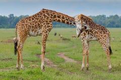 Бой быков жирафа Masai Стоковые Изображения