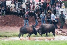 Бой быков фестиваля факела Стоковая Фотография