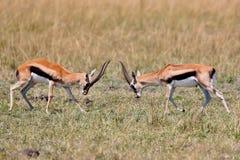 Бой газеля мужской в их сухой среде обитания природы Стоковое Изображение