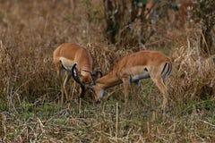 Бой газеля мужской в их сухой среде обитания природы Стоковые Фотографии RF