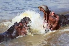 Бой гиппопотама на национальном парке mara masai Стоковая Фотография RF