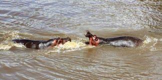 Бой гиппопотама на национальном парке mara masai Стоковое Изображение RF