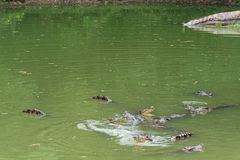 Бой для siamensis ед-крокодил-крокодила стоковое фото rf