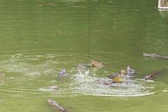 Бой для siamensis ед-крокодил-крокодила стоковая фотография rf