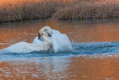 Бой лебедя Стоковое Изображение