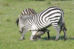 Бой 2 жеребцов зебры (квагги Equus) Стоковое Фото