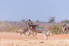 Бой 3 жеребцов зебры Burchells Стоковые Изображения