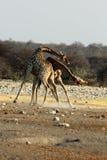 Бой жирафов Стоковое фото RF