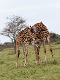 Бой 2 жирафов Стоковое Изображение