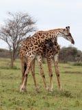 Бой 2 жирафов Стоковое Изображение RF