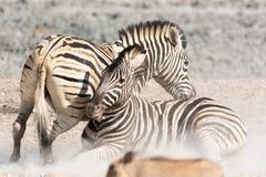 Бой зебр Стоковое Изображение RF