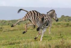Бой зебр Burchells Стоковое фото RF