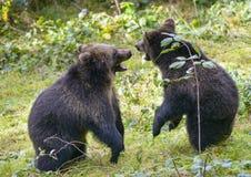 2 бой игры новичков бурого медведя Стоковое Изображение RF