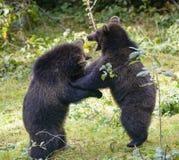 2 бой игры новичков бурого медведя Стоковое Фото