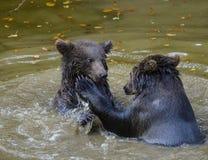 2 бой игры новичков бурого медведя Стоковые Изображения RF