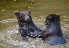 2 бой игры новичков бурого медведя Стоковая Фотография