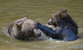 2 бой игры новичков бурого медведя Стоковое фото RF