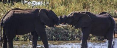Бой игры слонов Стоковые Фотографии RF