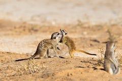 2 бой игры Meerkats детенышей Стоковые Изображения