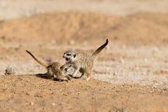 2 бой игры Meerkats детенышей Стоковая Фотография
