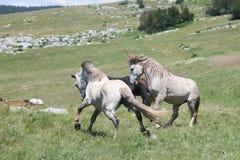 Бой диких лошадей стоковые фотографии rf