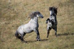 Бой диких лошадей стоковая фотография