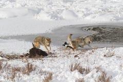Бой койота Стоковая Фотография