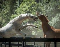 Бой 2 конноспортивный лошадей стоковое фото