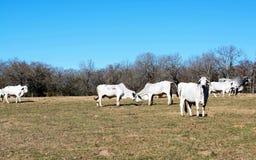 Бой коров Brahma стоковые фото