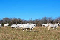 Бой коров Brahma стоковая фотография