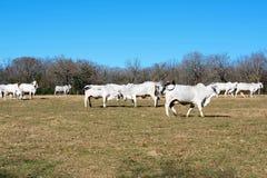 Бой коров Brahma стоковые изображения