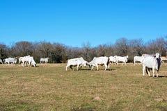 Бой коров Brahma стоковые фотографии rf