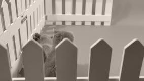 Бой котенка британцев Shorthair голубое, белая загородка акции видеоматериалы
