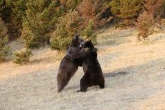 Бой медведя s гризли Стоковые Фотографии RF