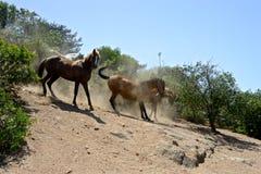 Бой между лошадями стоковое изображение