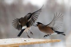 Бой между 2 серыми bullfinches в зиме Стоковая Фотография