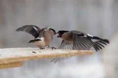 Бой между 2 серыми bullfinches в зиме Стоковое Изображение RF