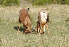 Бой между 2 антилопами тропического шлема Стоковое Фото