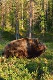 Бой медведя Медведь wrestling Стоковое Изображение RF