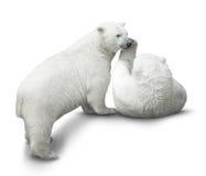 Бой новичков медведя Стоковая Фотография RF