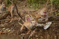 Бой обезьяны Стоковая Фотография RF