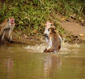 Бой обезьяны Стоковое фото RF