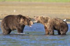 Бой 2 огромный хряков бурого медведя территории Стоковые Изображения